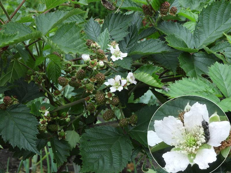 セイヨウヤブイチゴ花