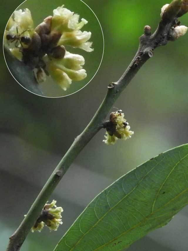 シロダモ花