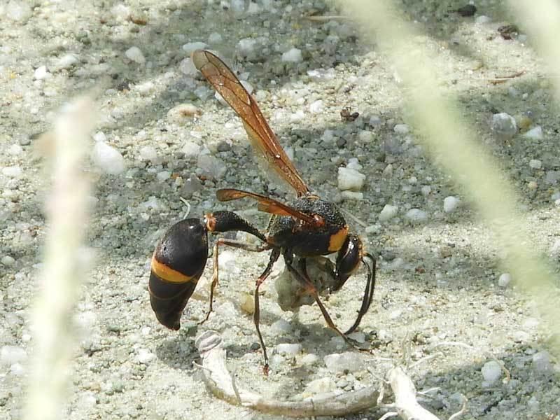 スズバチ巣材集め
