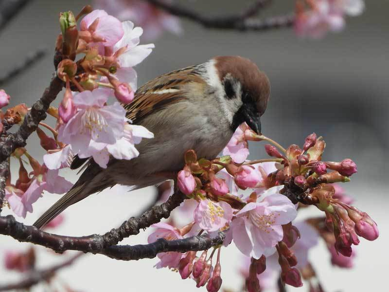 河津桜とスズメ