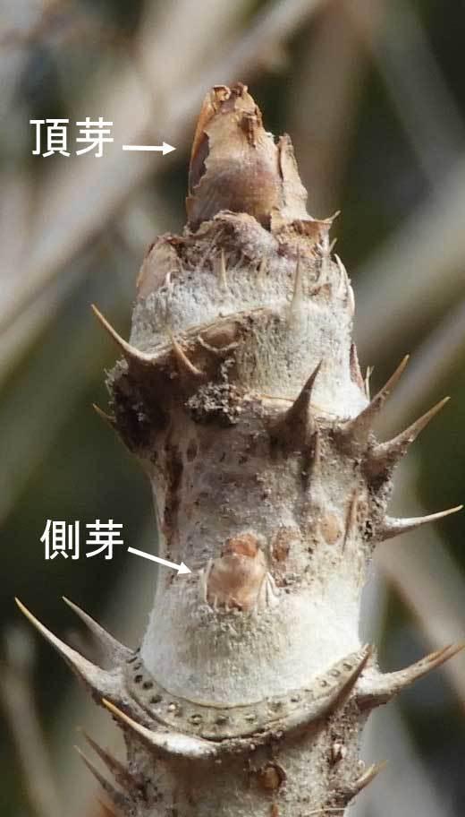 タラノキ冬芽