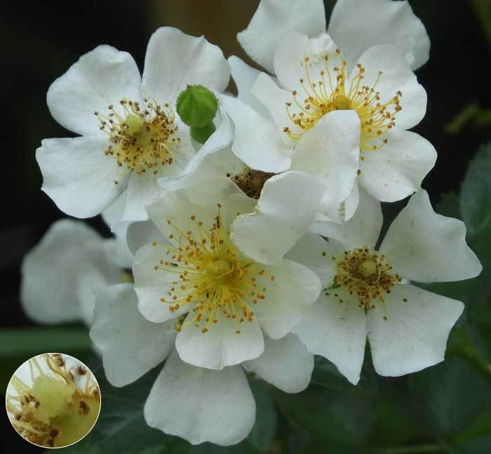 テリハノイバラ花