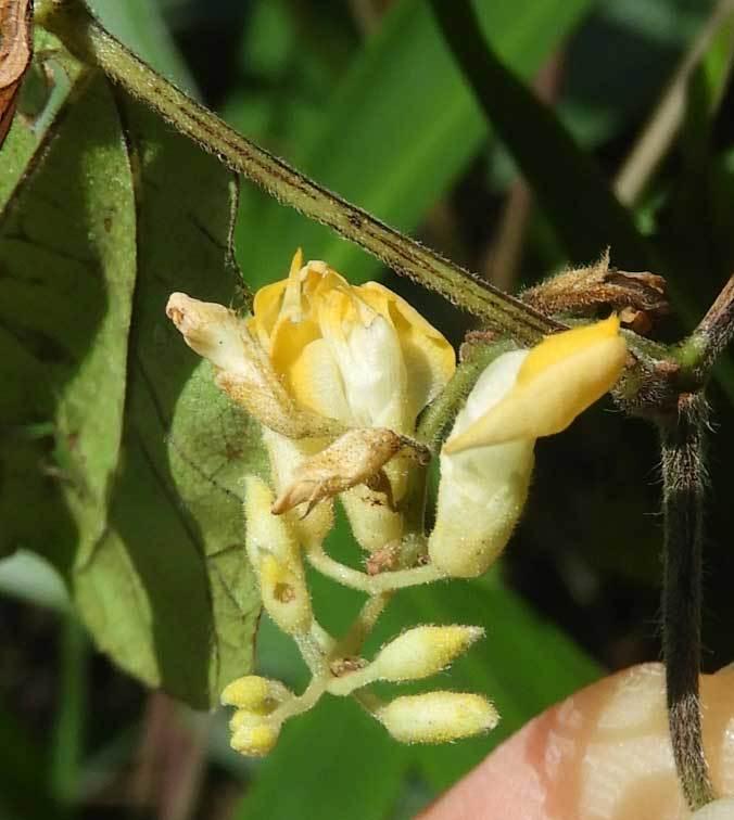 トキリマメ花