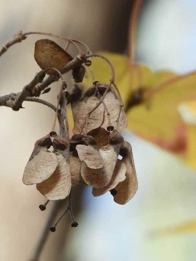 トウカエデの翼果