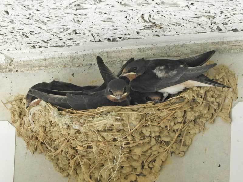 ツバメの巣6月24日
