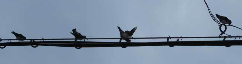 巣立ちツバメ4羽午後