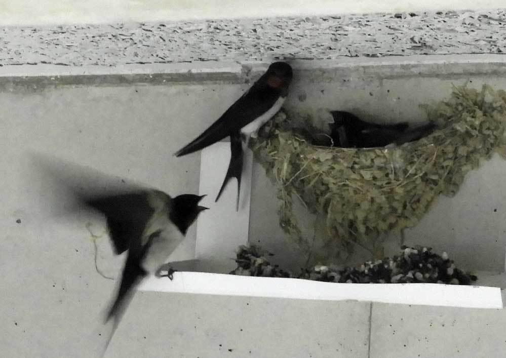 雛1羽と親2羽