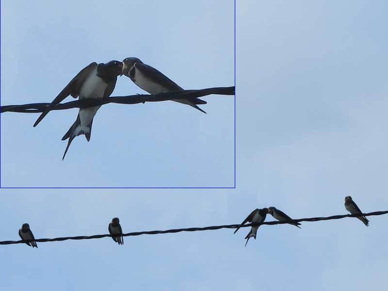 ツバメの巣立ち4羽