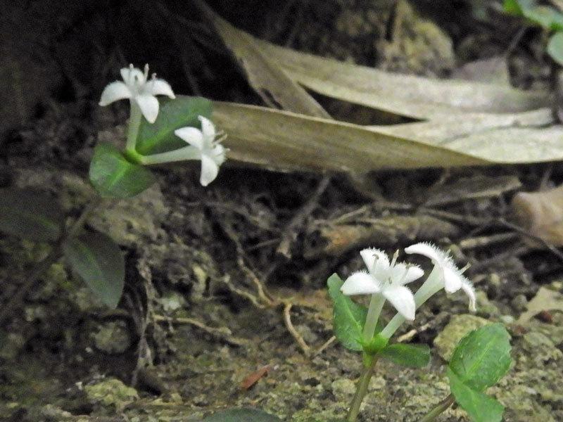 ツルアリドウシ短花柱花