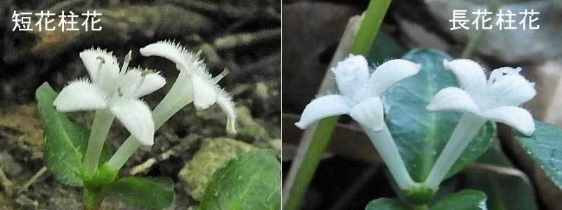 ツルアリドウシ短花中花長花柱花比較