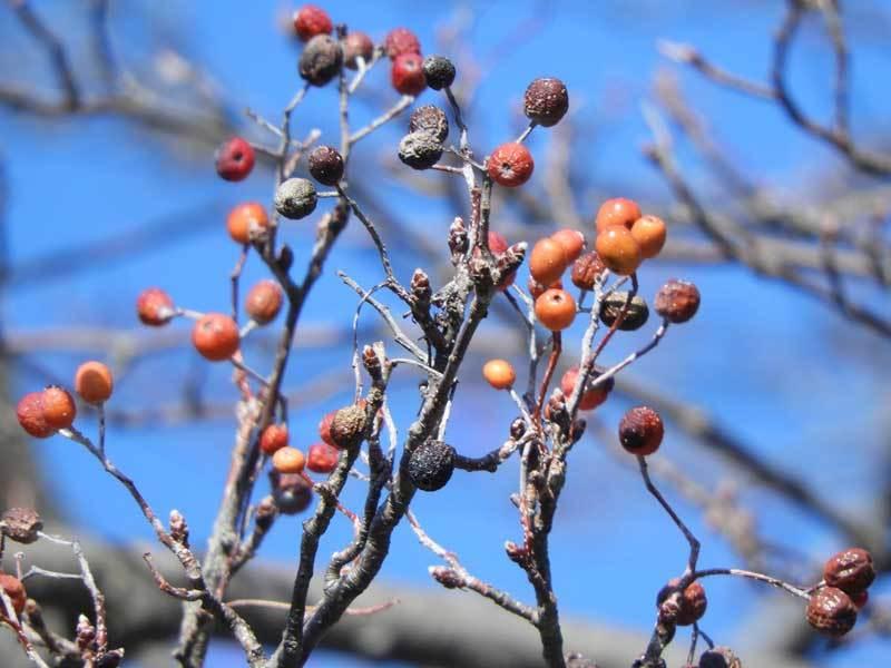 ウラジロノキの果実