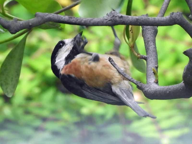 ヤマガラ親鳥