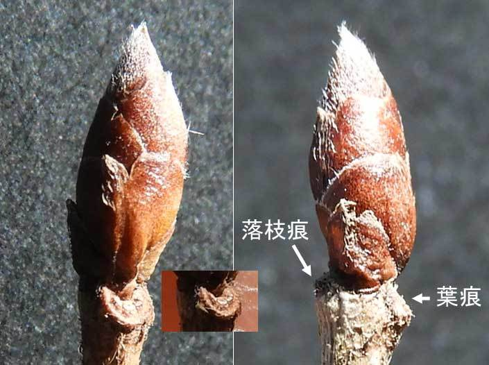 ヤマコウバシ冬芽葉痕