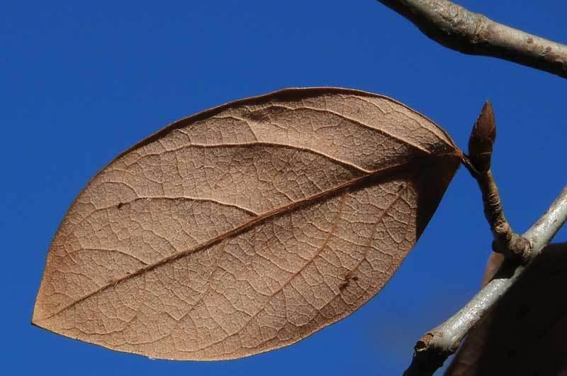 ヤマコウバシ葉