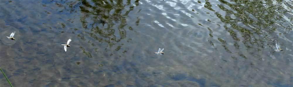 ヨツボシトンボの飛翔