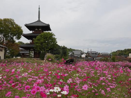 kosumosu5_20201118143051b25.jpg