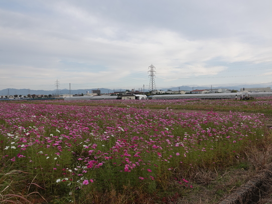 kosumosu6_20201118144806b4d.jpg