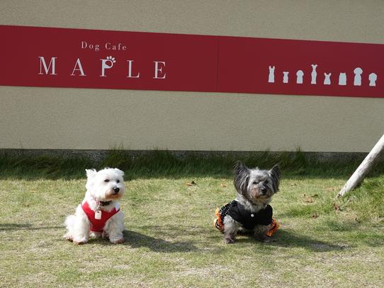 maple1.jpg