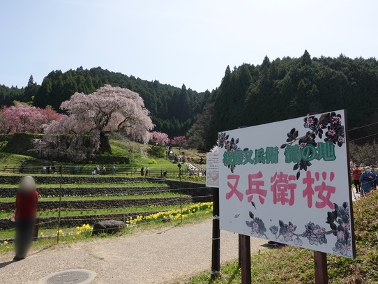 sakura_202104181713591ff.jpg