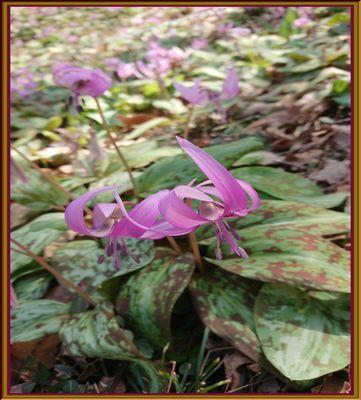 aカタクリの花