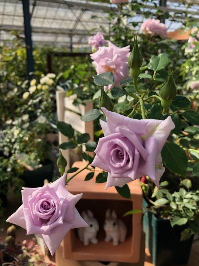 ブログ11月3薔薇の海