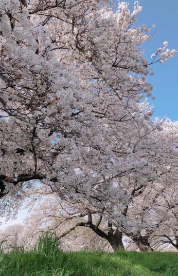 ブログ4月1桜