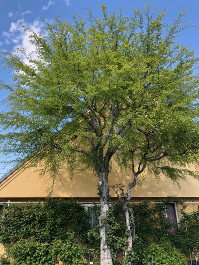 ブログ4月3ニレの木