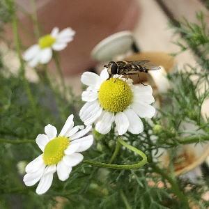 ブログ4月3カモミールと蜂