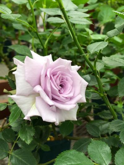 ブログ4月3薔薇の海