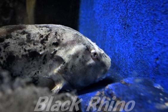 クサウオ02 越前松島水族館