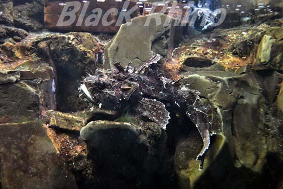 ケムシカジカ02 越前松島水族館