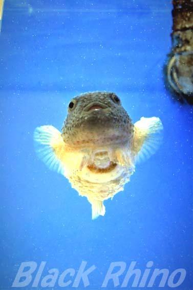 コンペイトウ02 越前松島水族館