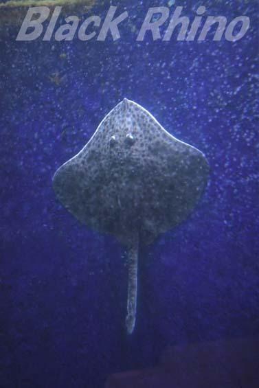 ドブカスベ01 越前松島水族館