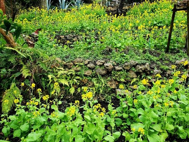 フラワーパーク 菜の花1