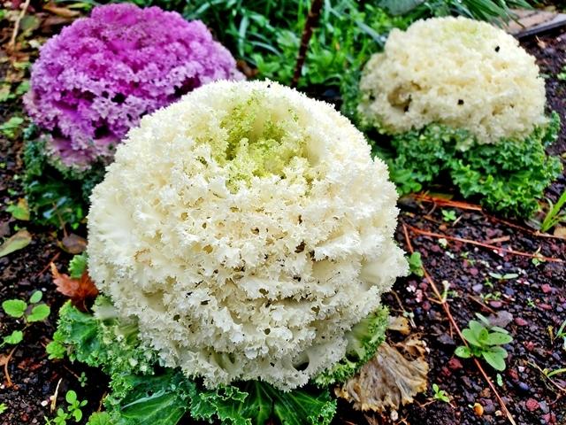フラワーパーク 菜の花5