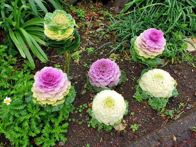フラワーパーク 菜の花3