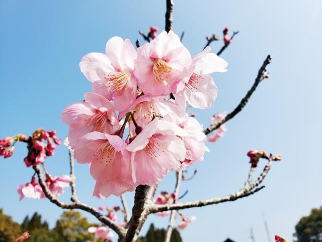 菜の花と桜2-4