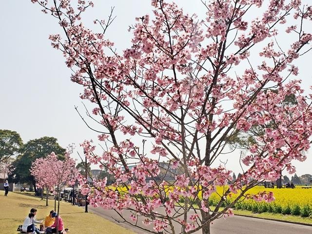菜の花と桜2-3