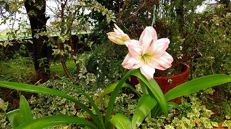 7アマリちゃん花壇