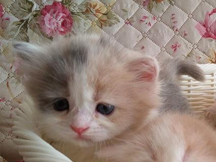 シフォンの仔猫時代の写真
