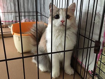 タレ目猫シフォン