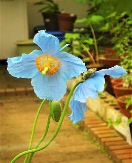 s-ヒマラヤの青いケシ