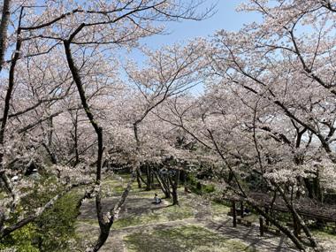 桜 満開 春 御津山 見ごろ 名所 黄砂 カスミ コロナ禍 変異株