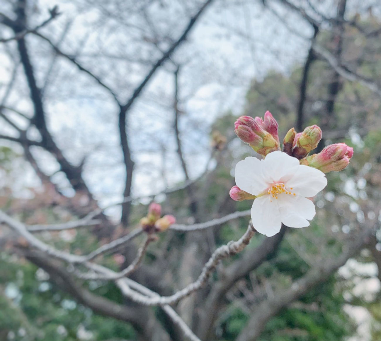 2021桜-01