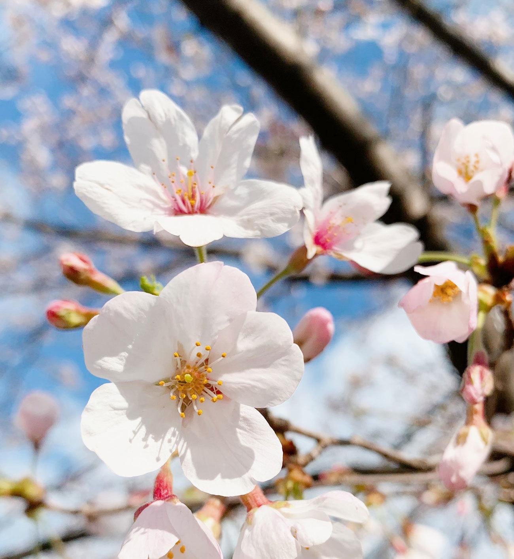 2021桜-03