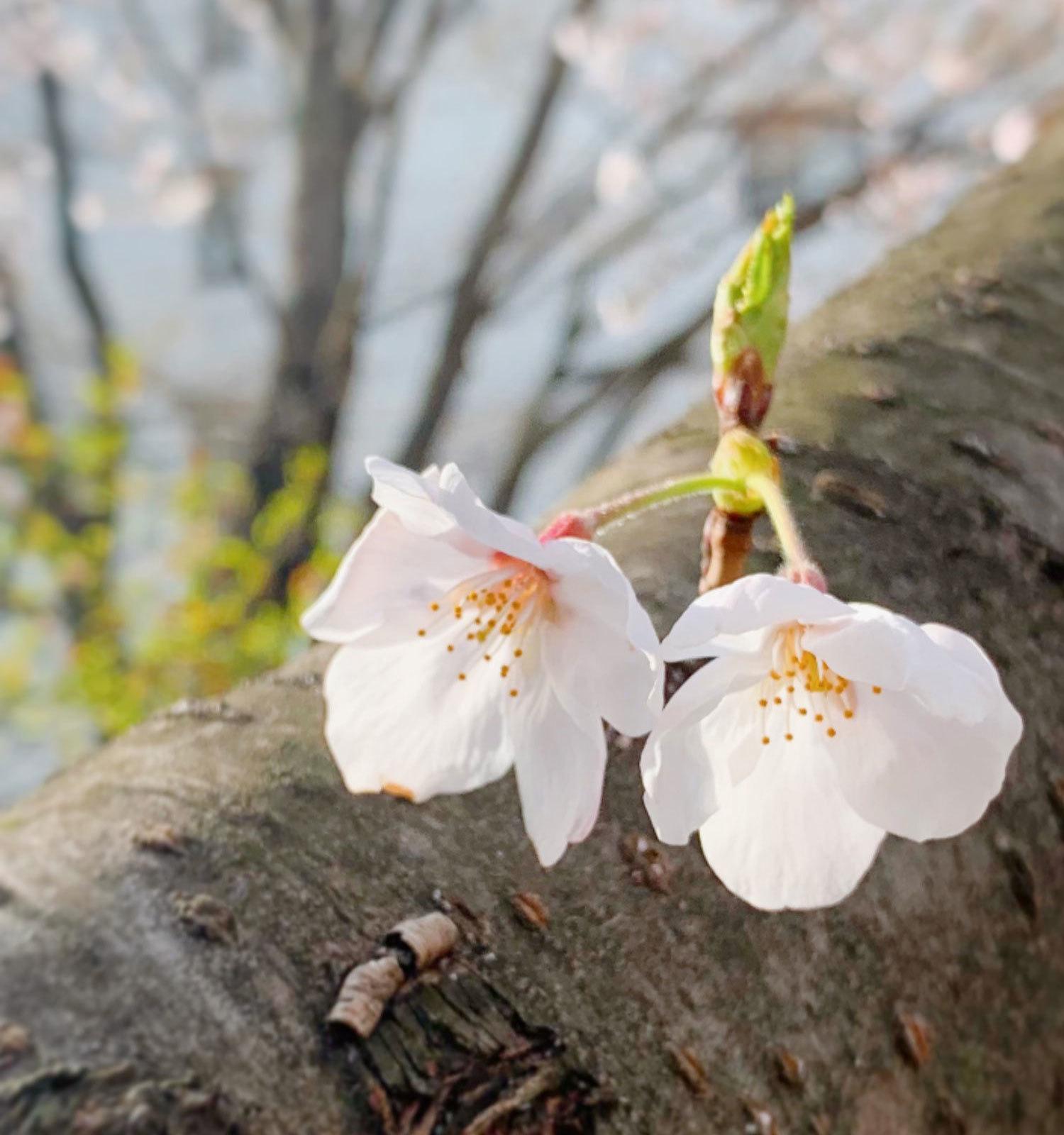 2021桜-05