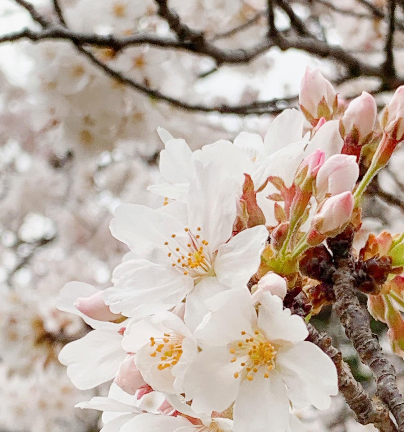 2021桜-08