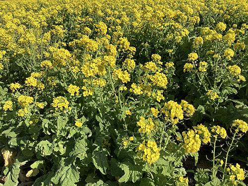 2021菜の花4