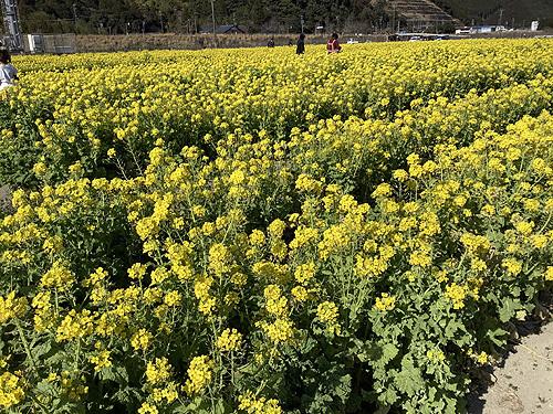 2021菜の花1