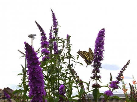 夏の花とアゲハ蝶